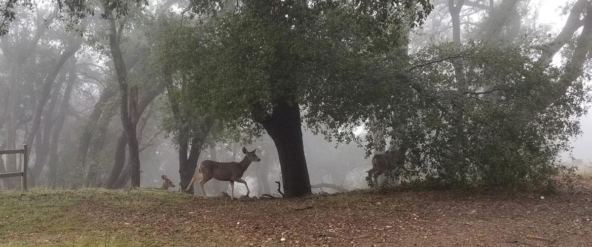 deer, trees and fog